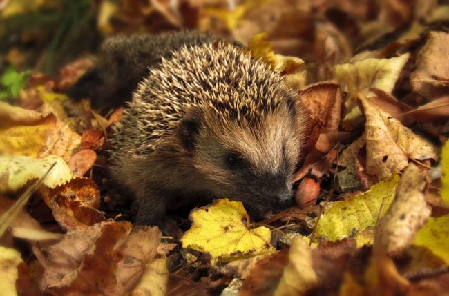 hedgehog among the leaves